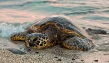 Turtles nesting