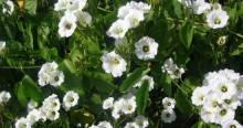 Xtabentun flower